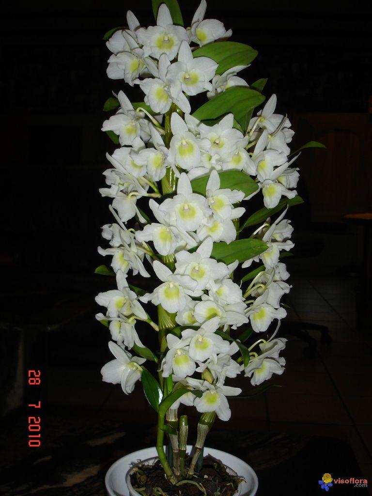 orchidee nobile