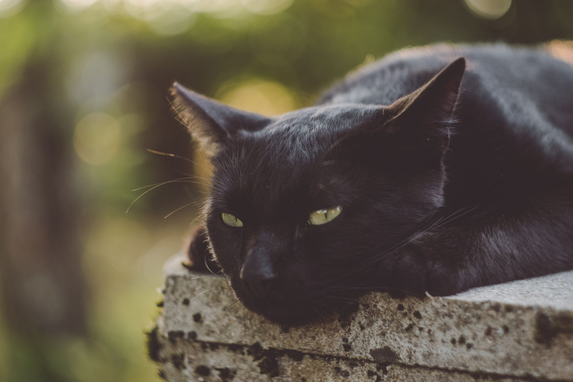 Many people around the globe believe that black cats bring