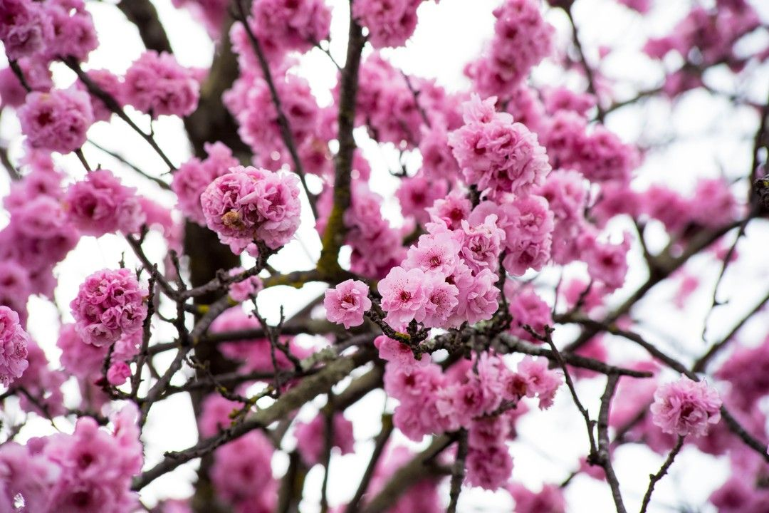 The Amazing Cherry Blossoms In Bloom In Latrobe Tasmania In September I Will Be In Melbourne So Expect To See Some Amazi Earth Pictures Amazing Nature Outdoor