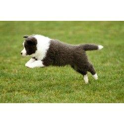 Powerhouse Border Collie Breeder In Lancaster California Listing Id 21176 Animals Doggy Border Collie
