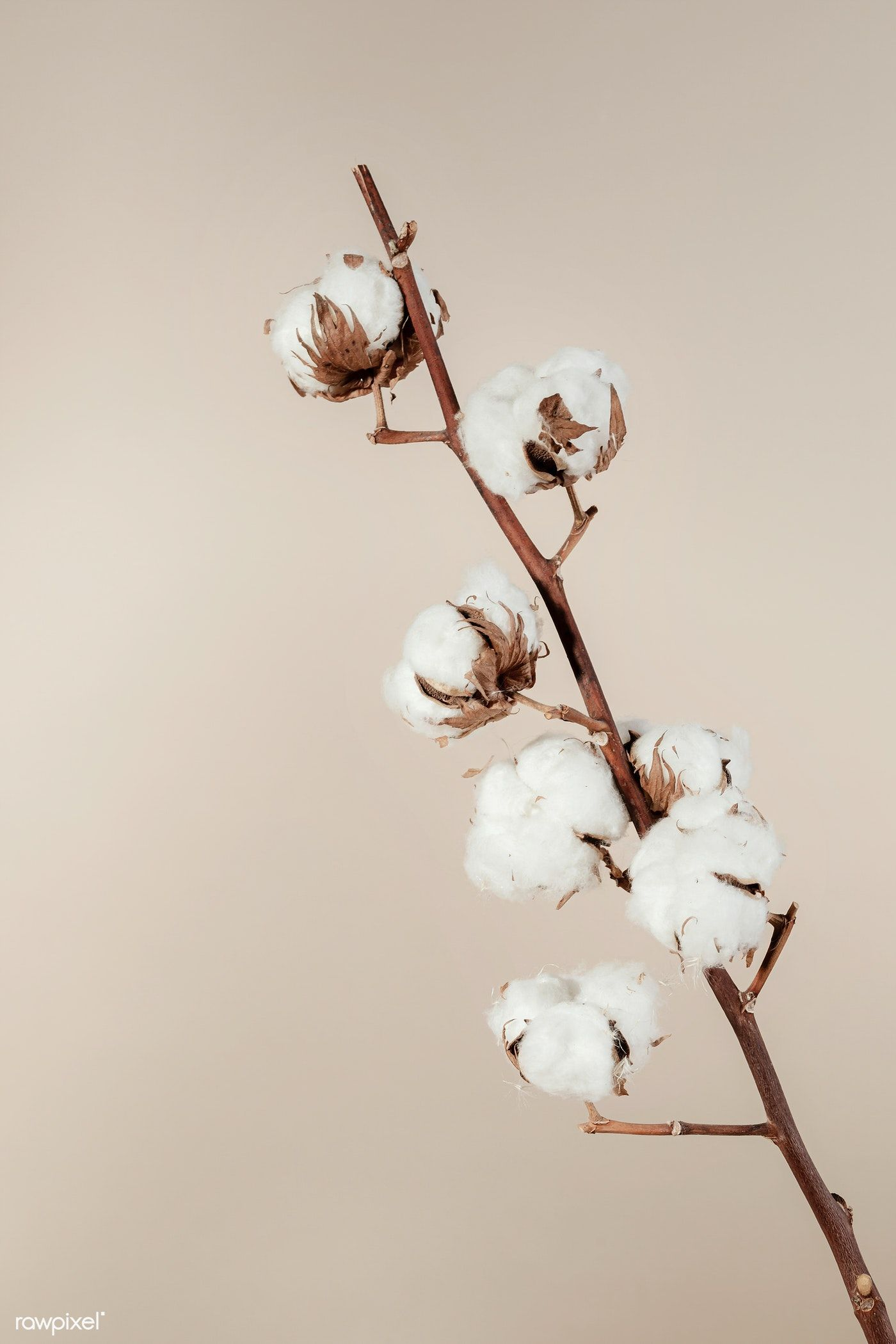 Photo of Download premium image of dried natural cotton branch isolated on beige