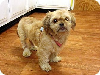 Shih Tzu Mix Dog For Adoption In Fowlerville Michigan Tee Jay Shih Tzu Mix Dog Adoption Shih Tzu