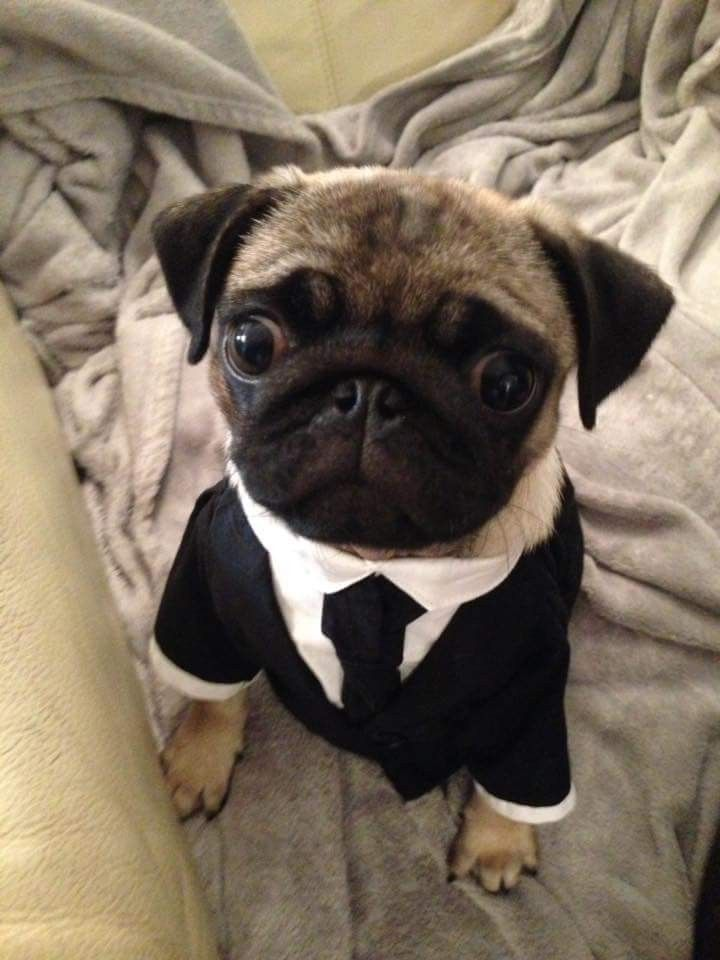 Pin By Cbw Lil Campers Scs On Halloween Costumes Pugs