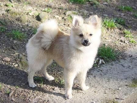 pomeranian samoyed mix pomeranian spitz mix breed mixed breeds pinterest 3912