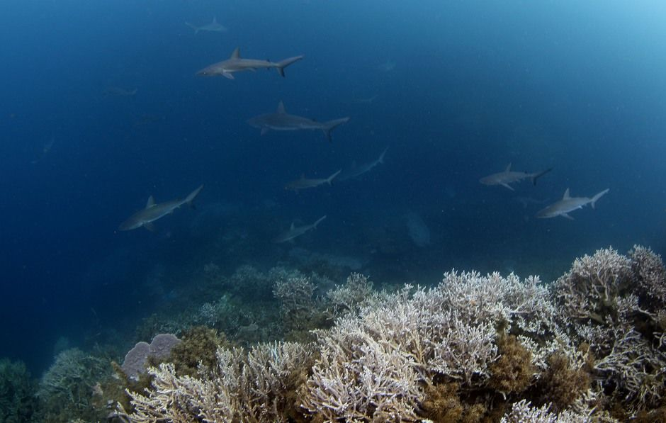 Rapa Expedition: Surrounded by Sharks at Last