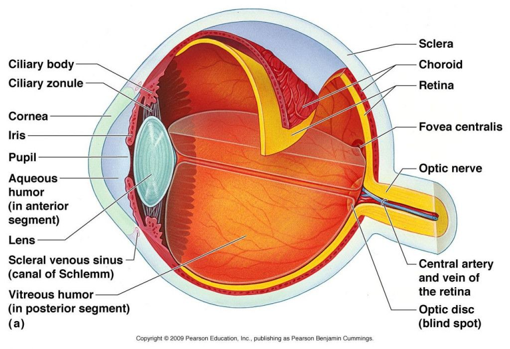 Labeled Diagram Of the Eyeball Lovely Human Eye Anatomy ...