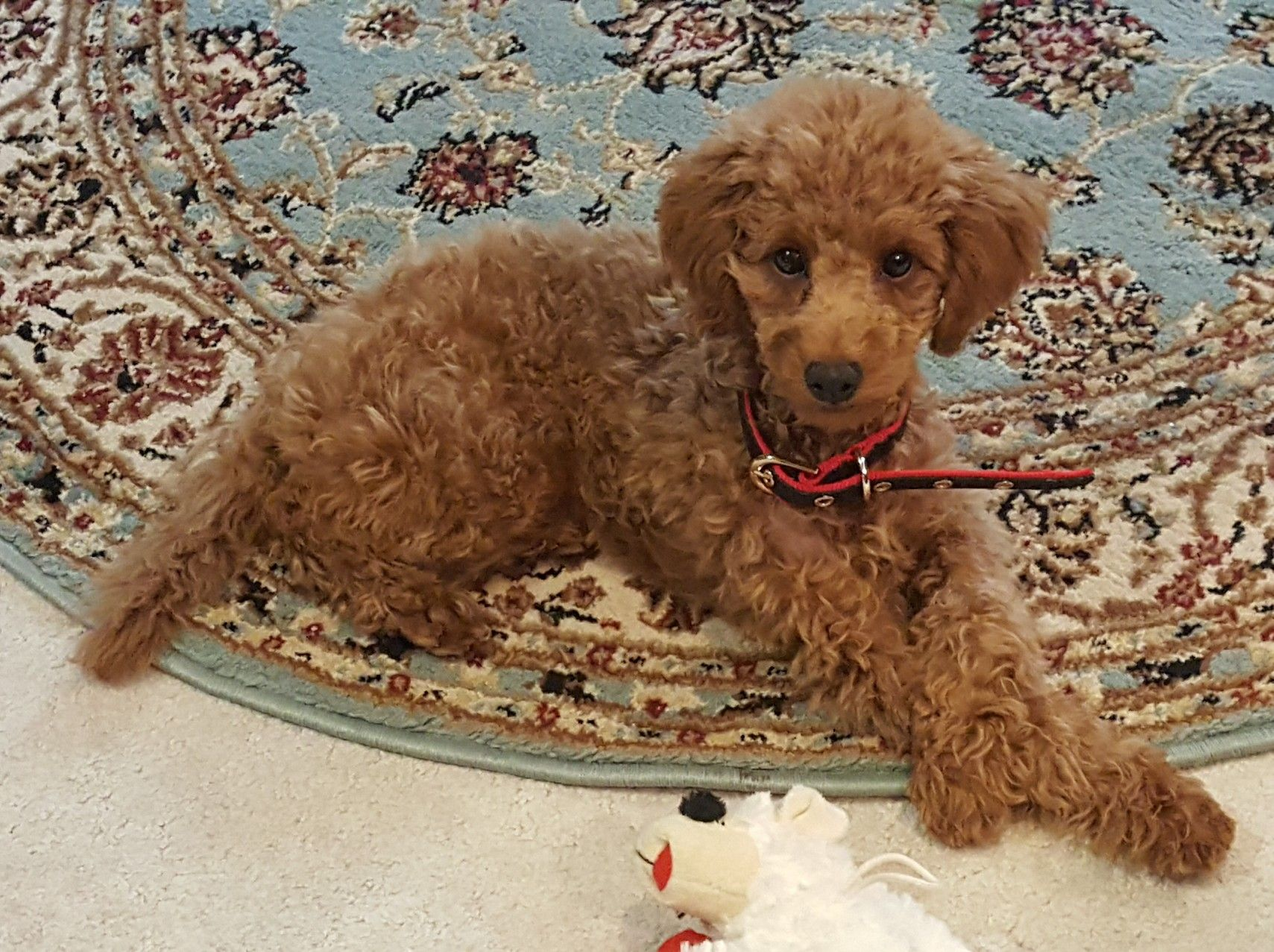 Bailey Red Poodles Miniature Poodle Cute Animals