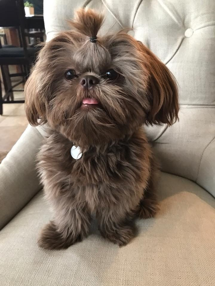 Shih Tzu Puppies For Sale Near Me Sunnybelle Shih Tzu In Texas In 2020 Shih Tzu Puppy Shih Tzu Dog Puppies