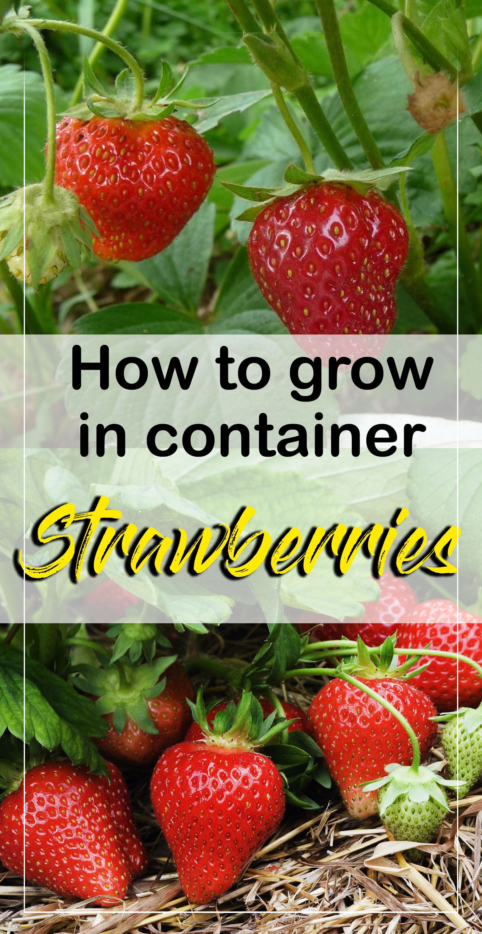 17 Adorable Container Garden Strawberries To Bring Unique Look Growing Strawberries In Containers Strawberries In Containers Growing Strawberries