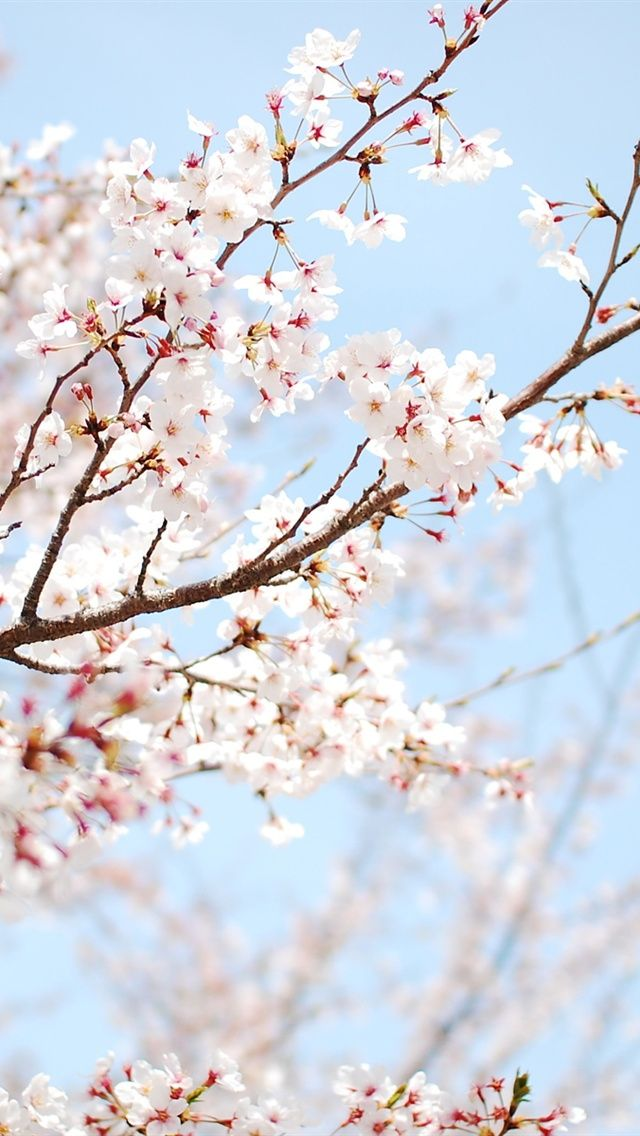 The-cherry-blossoms-in-spring_640x1136_iPhone_5_wallpaper ...