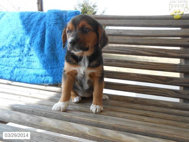Rottweiler Mix Puppy For Sale In Pennsylvania Rottweiler Mix