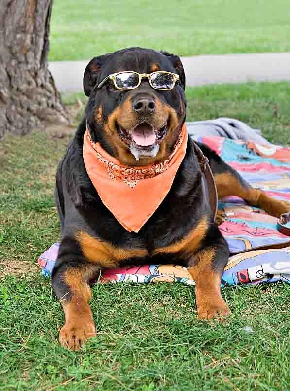 Resultado de imagen para rottweiler dog, good looking and wearing clothes cute