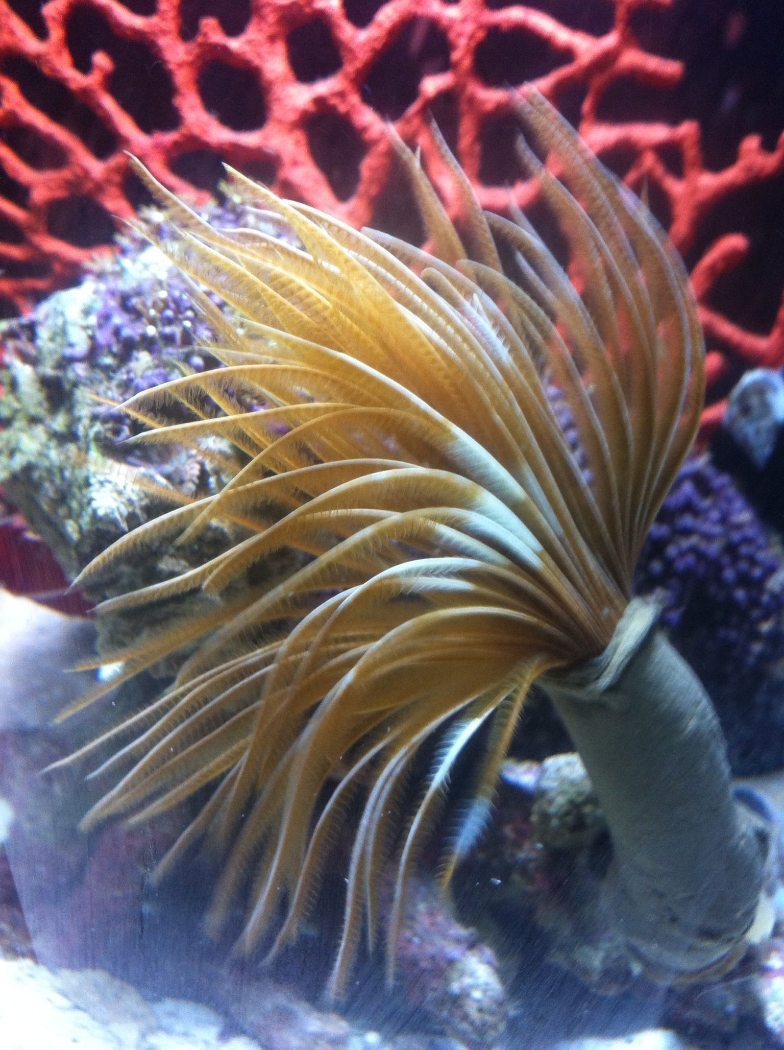 Feather Duster Saltwater Aquarium Feather Duster Saltwater