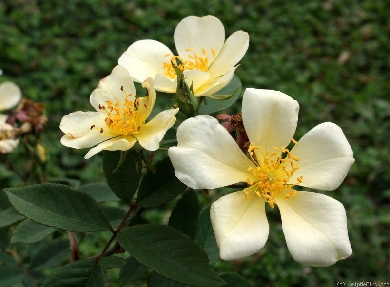 'Yellow Mutabilis ' Rose Photo