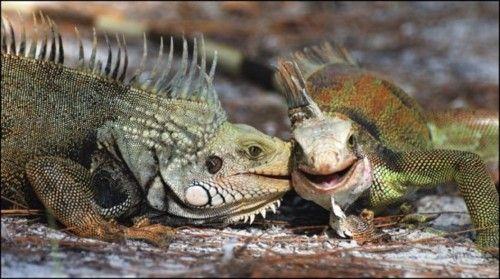- A que no adivinas con quién estaba Ana Lizzard... | #Chisme #Iguana #Animales