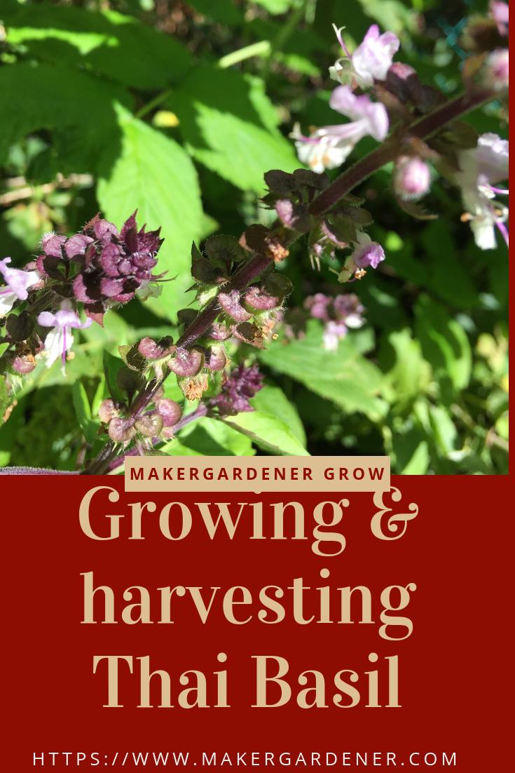 Growing And Harvesting Thai Basil Thai Basil Thai Basil Plant