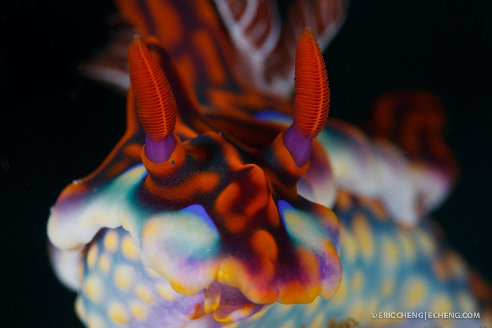 Magnificent Ceratosoma Nudibranch (Ceratosoma magnificum) - A magnificent…