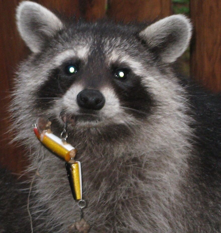 young raccoon lure in lip 880 wake up america pinterest