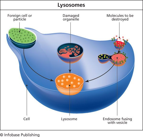 Lysosome Lysosomes Hold Enzymes That Were Created By The Cell The