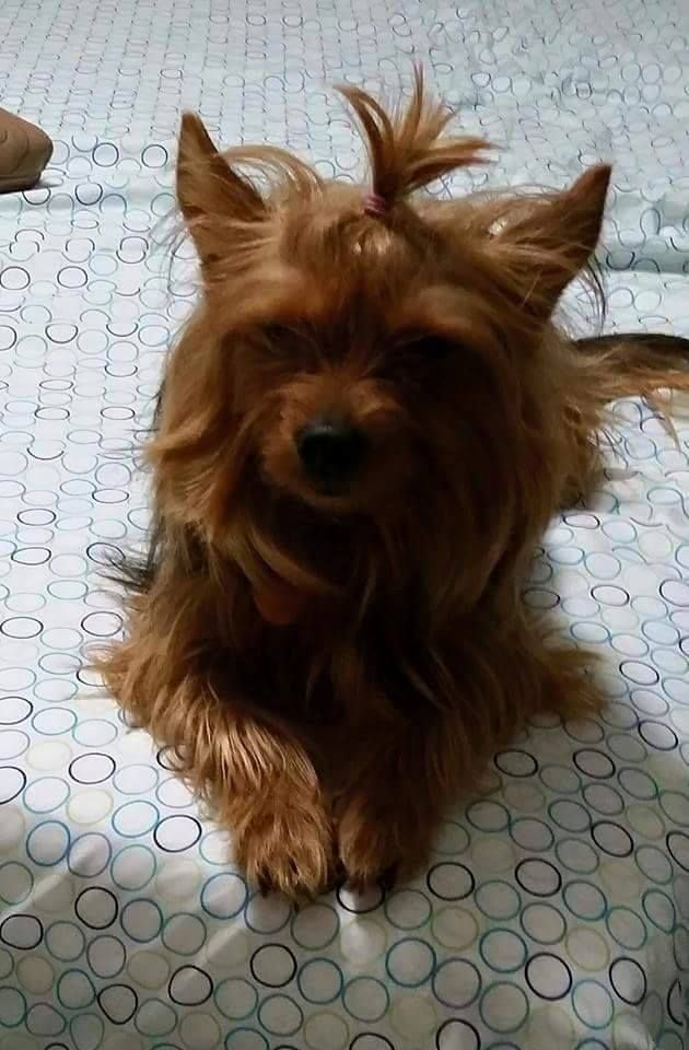 Lost Dog Yorkshire Terrier Yorkie Coventry Ri United States 02816 Losing A Dog Yorkshire Terrier Dogs