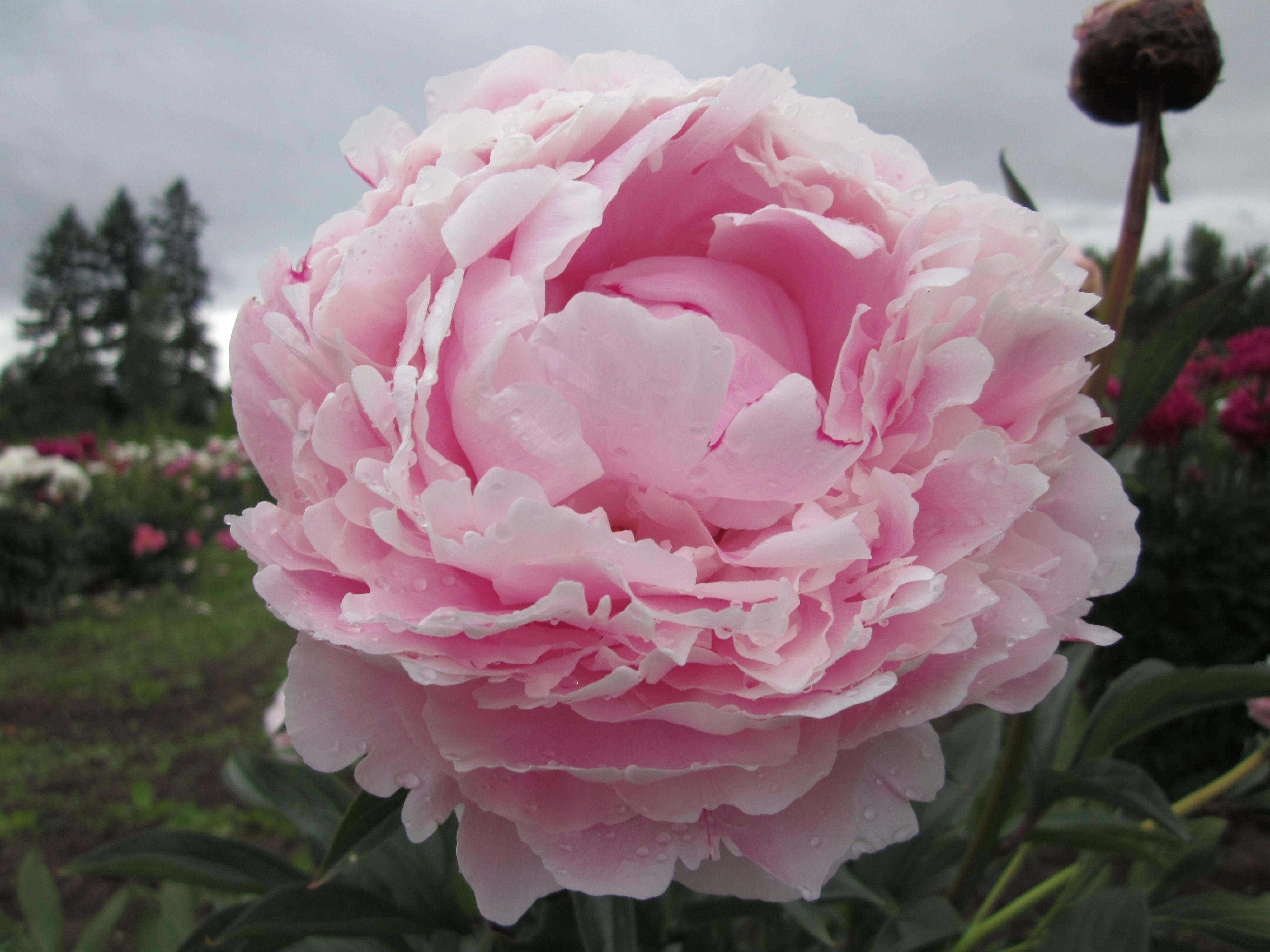 Peony Sarah Bernhardt Lemoine 1906 Easy To Grow Herbaceous Peony Plants Grow Your Own Flower Garden Peonies Garden Planting Peonies Peonies