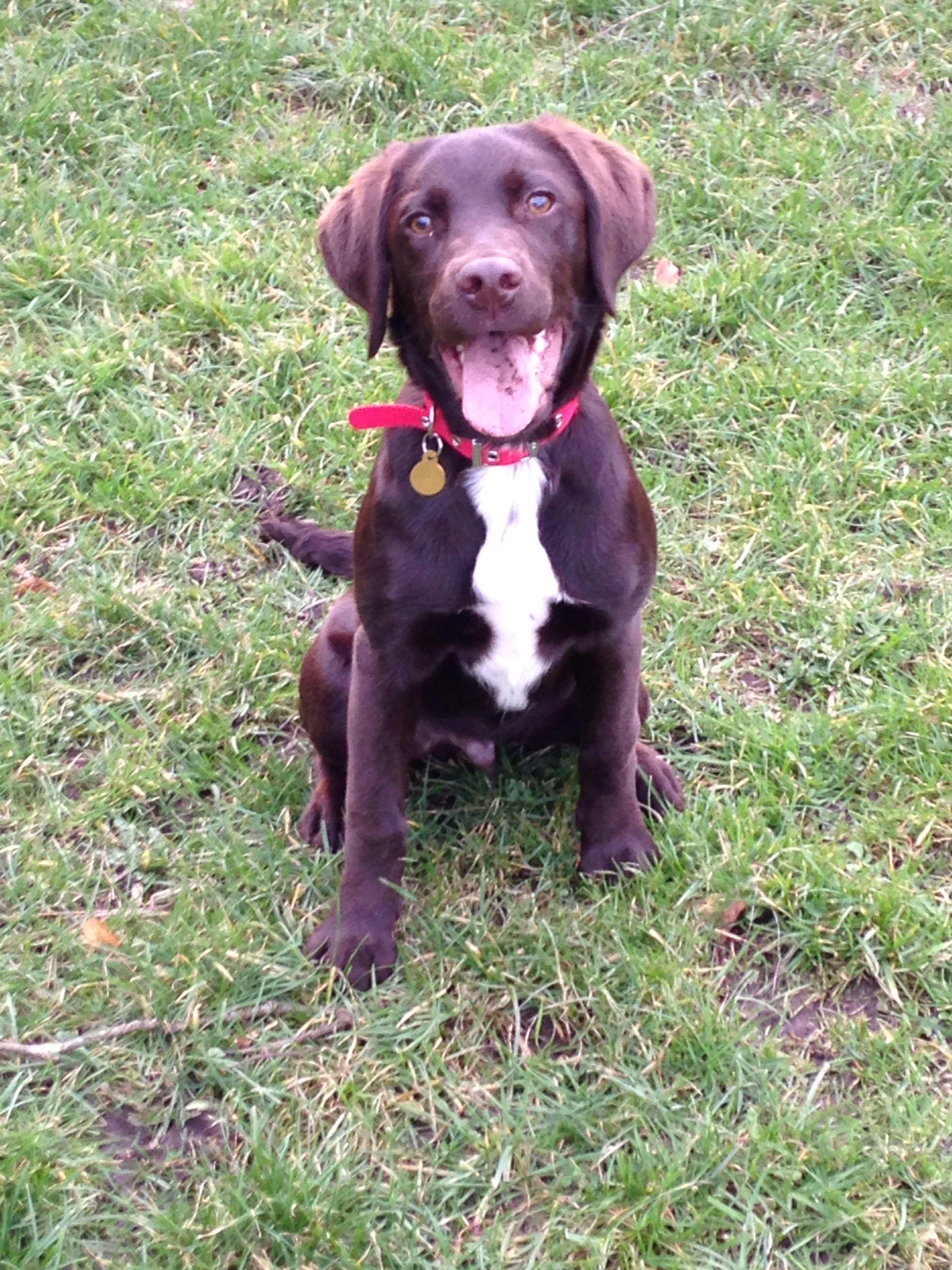 Milo, my Springador puppy dog