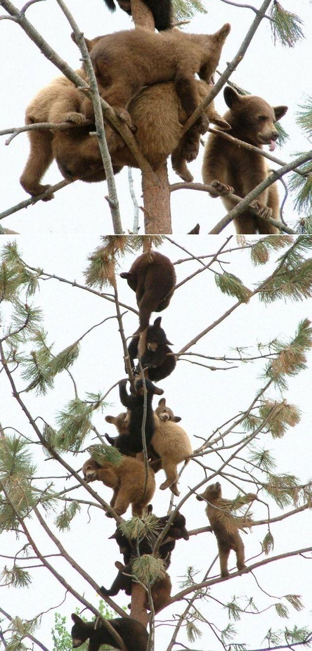 ursos brincando de cada macaco no seu galho