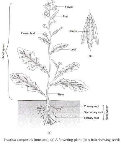 Mustard Seed Plant Drawing The Plant Is An Annual Herb Herbs N