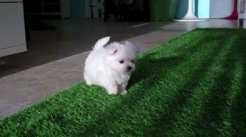 Cute Maltese Puppies For Sale In San Diego Maltese Puppies Maltese Puppy Maltese Dogs Care Maltese Dogs