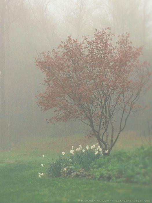 Acer palmatum 'Bloodgood', Heuchera & Narcissus poeticus. Garden Design and photography: Michaela Medina Harlow
