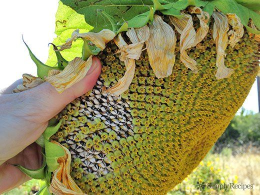 how to grow american giant sunflower