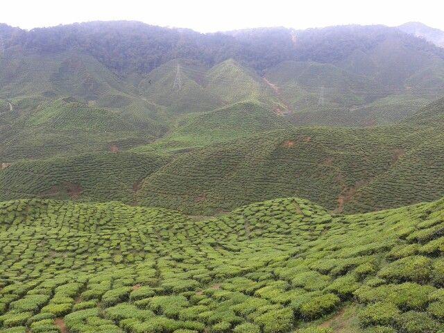 ladang teh femes di malaysia rasanya cuma ada di cameron highland.  tigabelas-limabelas september. kakak abang ipar danish aku dan qudin.