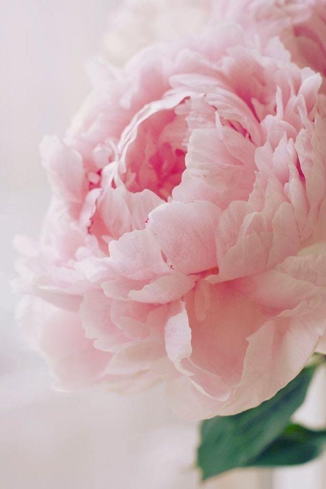 5月3日誕生花 【牡丹】 花言葉 ...