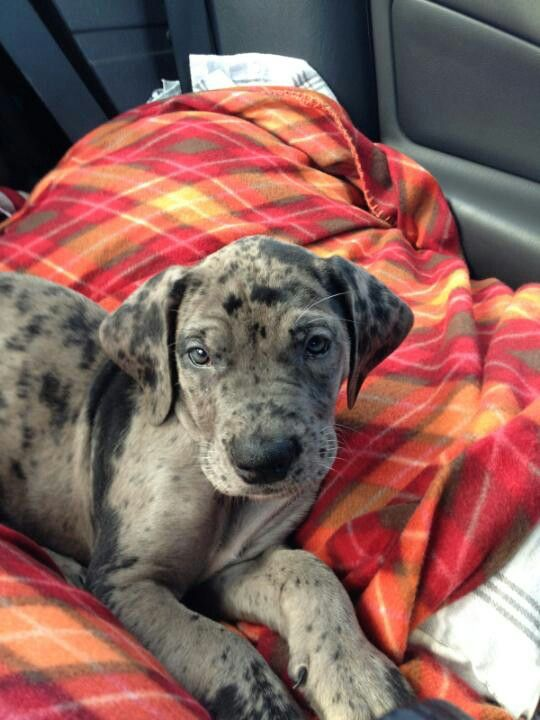 This Would Be Like My Dream Dog Daniff 1 2 Mastiff 1 2 Great