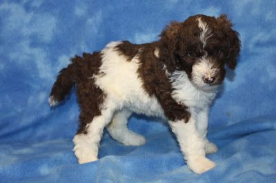 Standard Poodle Puppies For Sale Red Phantom Parti Brown