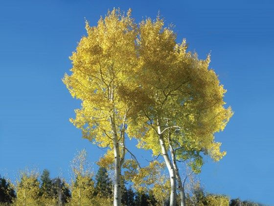 Aspen (Populus tremula) is a deciduous broadleaf tree native to England that is often known as quaking aspen. It is a beautiful tree with shimmering foliage and is found growing in a variety of situations, particularly ancient woods and heaths.