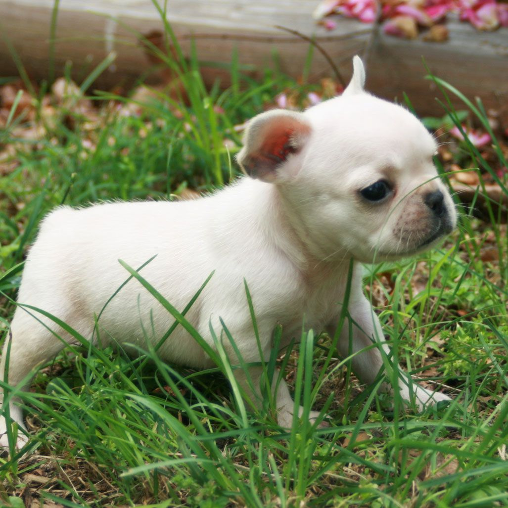 French Bulldog French Bulldog Puppy Pictures Best Small Dog