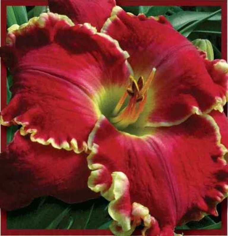Chinese Fire Dragon Petit 2011 Sf Daylily Perennial Plant Spring Shipping Day Lilies Daylily Garden Beautiful Flowers