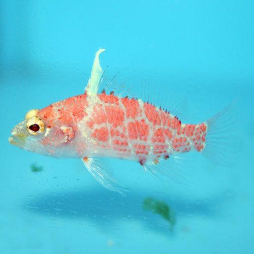 Geometric Flame Basslet Plectranthias Inermis Saltwater Tank Geometric Fish Pet