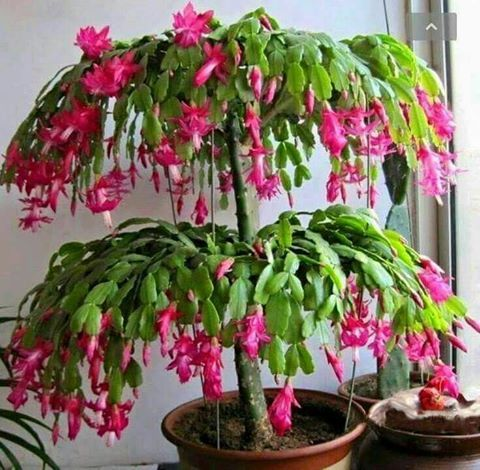 Beautiful grafted Christmas Cactus (Schlumbergera bridgesii