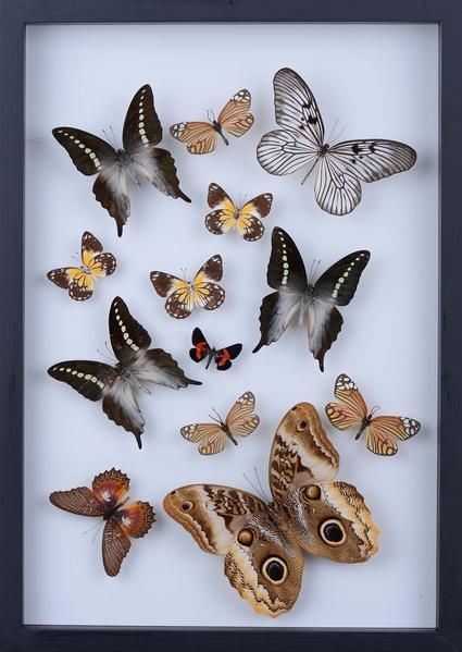 Real butterfly collection all natural butterflies mounted under glass in a wall hanging frame taxidermy butterfly art 804