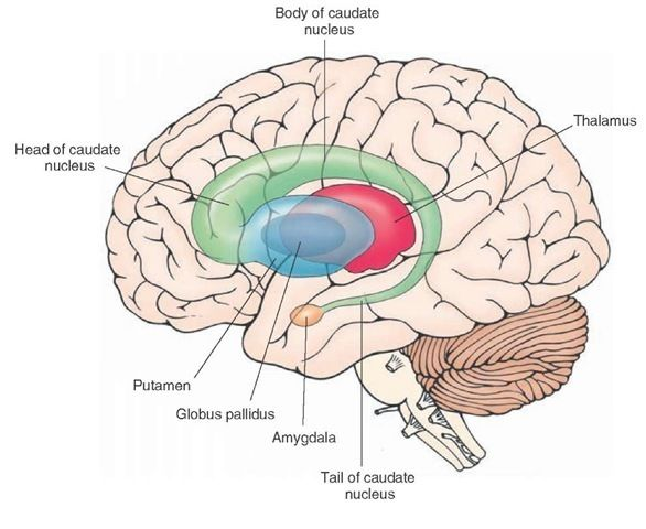 the components of the caudate nucleus and their relationship to the