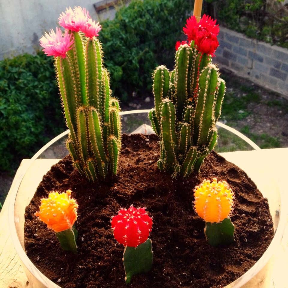 Moon cactus indoor garden tiny desert apartment living ...