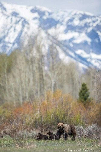 Grizzly mother and cubs in front of Grand Tetons