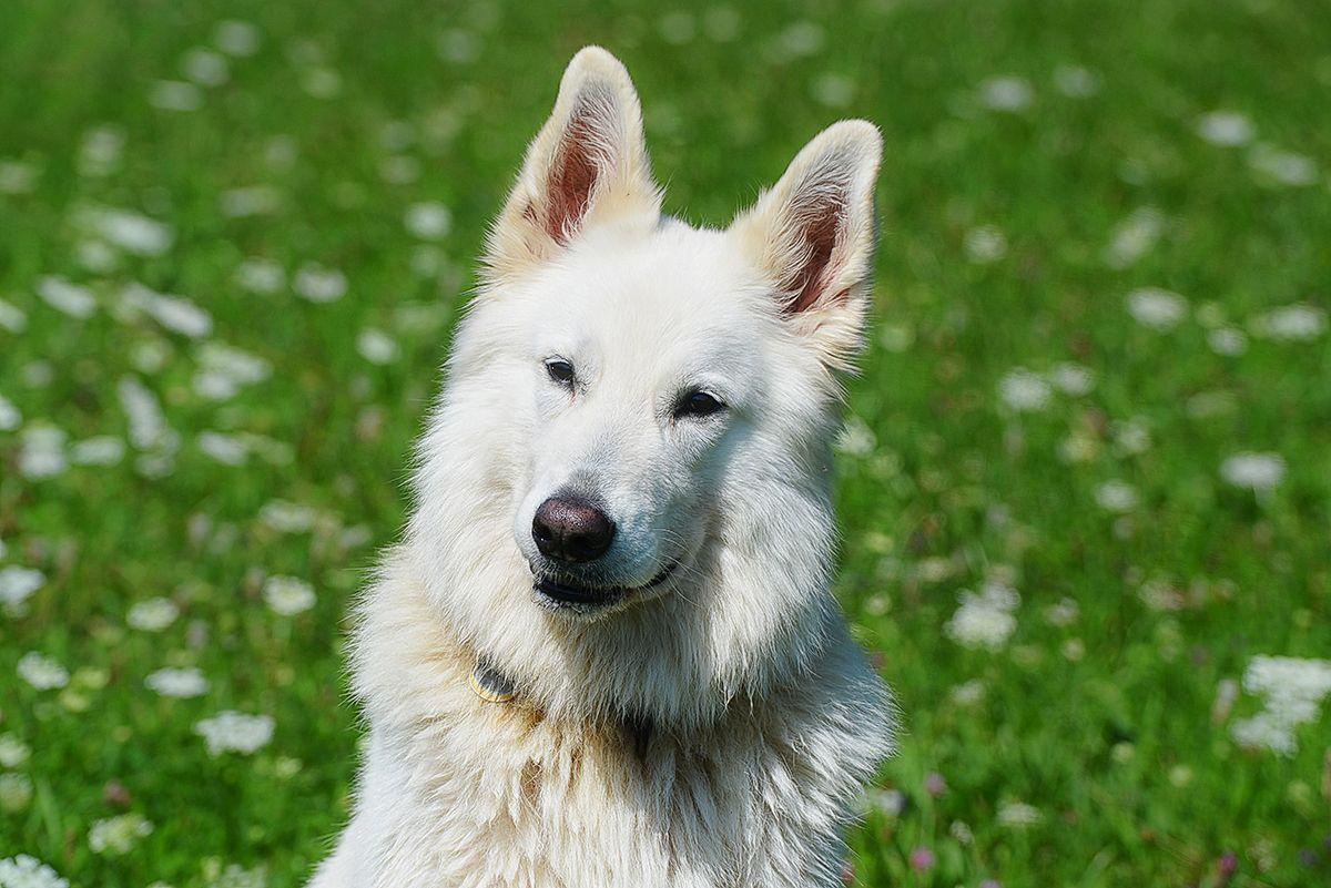 Vom Zauber weißer Schäferhunde Weißer schäferhund
