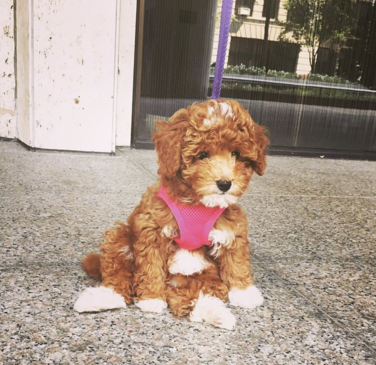 Spring Summer Fall Winter Fashion Diy Puppies Poodle