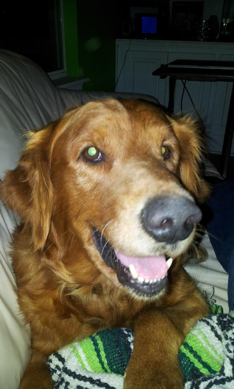 Adopt GRADY on Adoption, Dogs golden retriever, Dogs