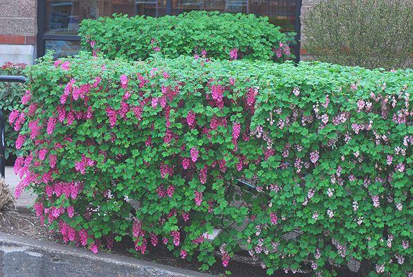 Hedging Plants Hedges Garden Screens For Garden Boundaries