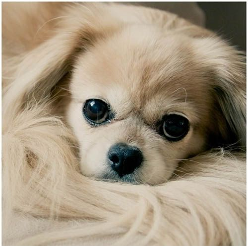 Adorable cute little puppy looking so sweetly.. click on