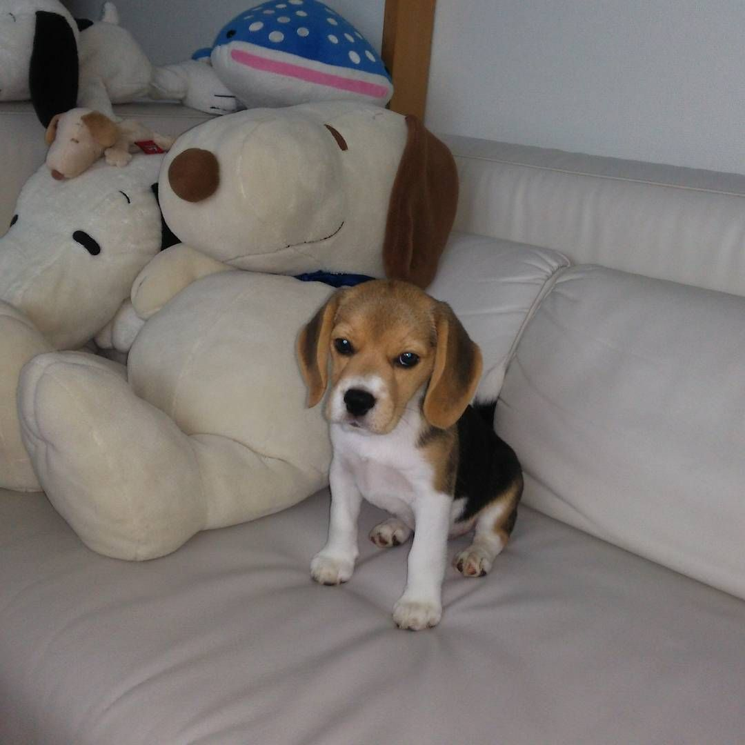 Good Snoopy Beagle Beagle Adorable Dog - ee8074475fa1074060226a79fa5ecb27  Photograph_702815  .jpg